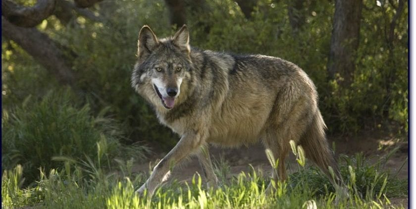 Does the Federal Government Value Wolves More Than Humans? The Money Says It All
